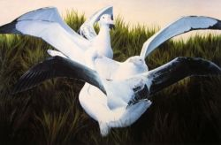 Gamming Wandering Albatrosses, Prion Island, South Georgia -size A3